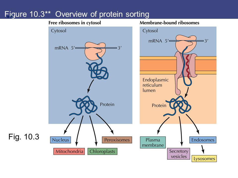 Figure 10.3** Overview of protein sorting