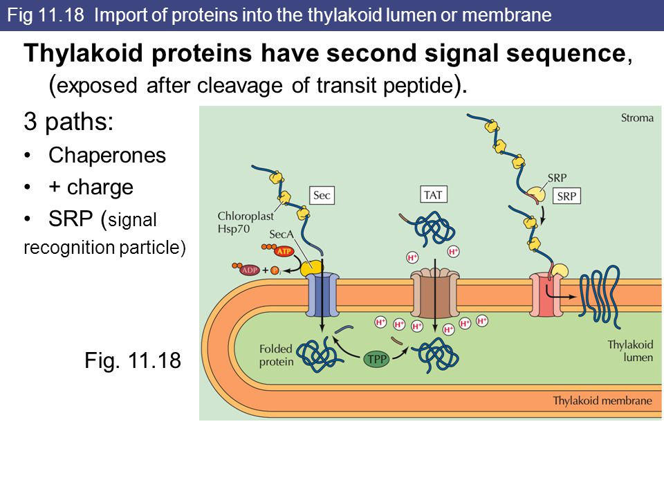 Fig 11.18 Import of proteins into the thylakoid lumen or membrane