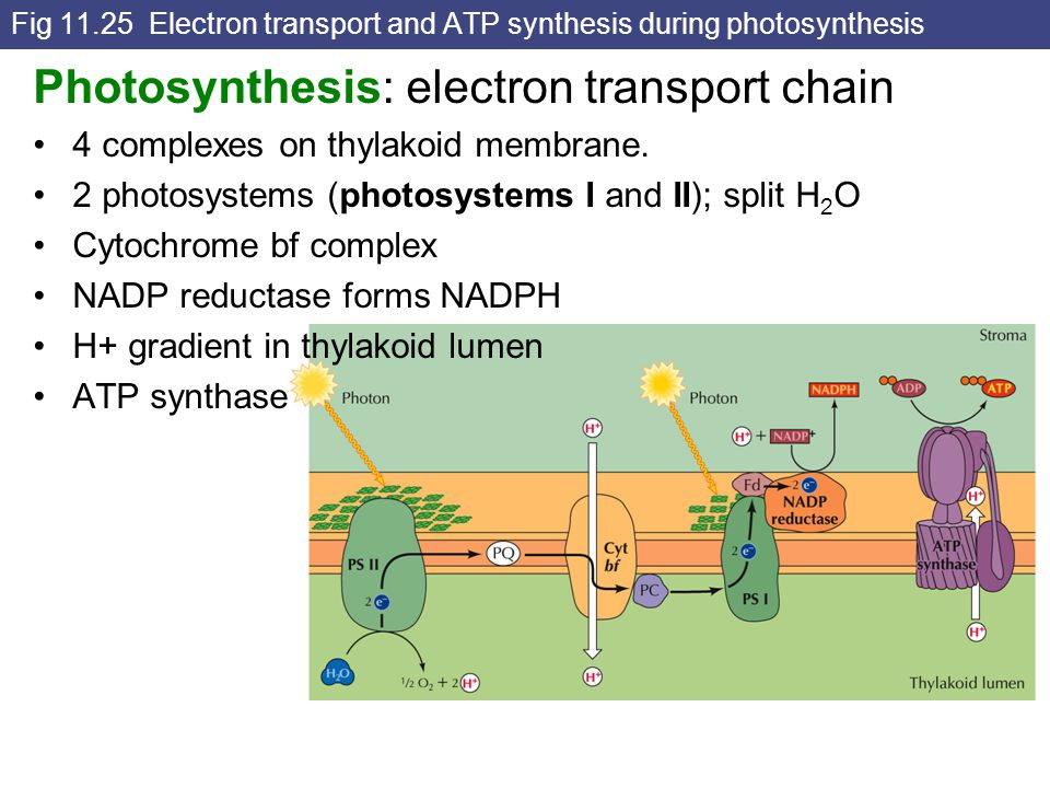 Fig 11.25 Electron transport and ATP synthesis during photosynthesis