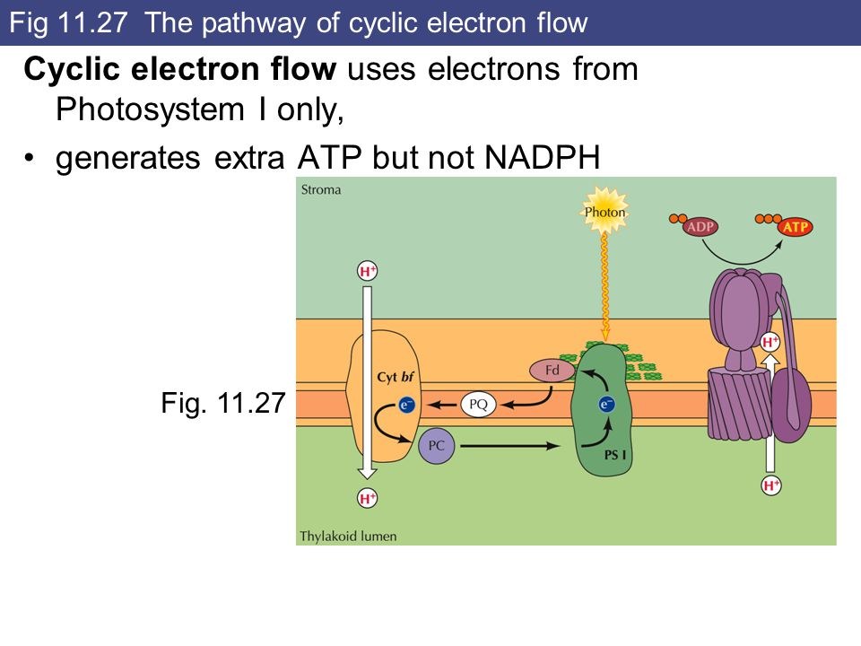 Fig 11.27 The pathway of cyclic electron flow