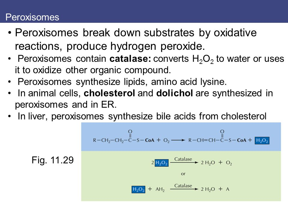 Peroxisomes Peroxisomes break down substrates by oxidative reactions, produce hydrogen peroxide.