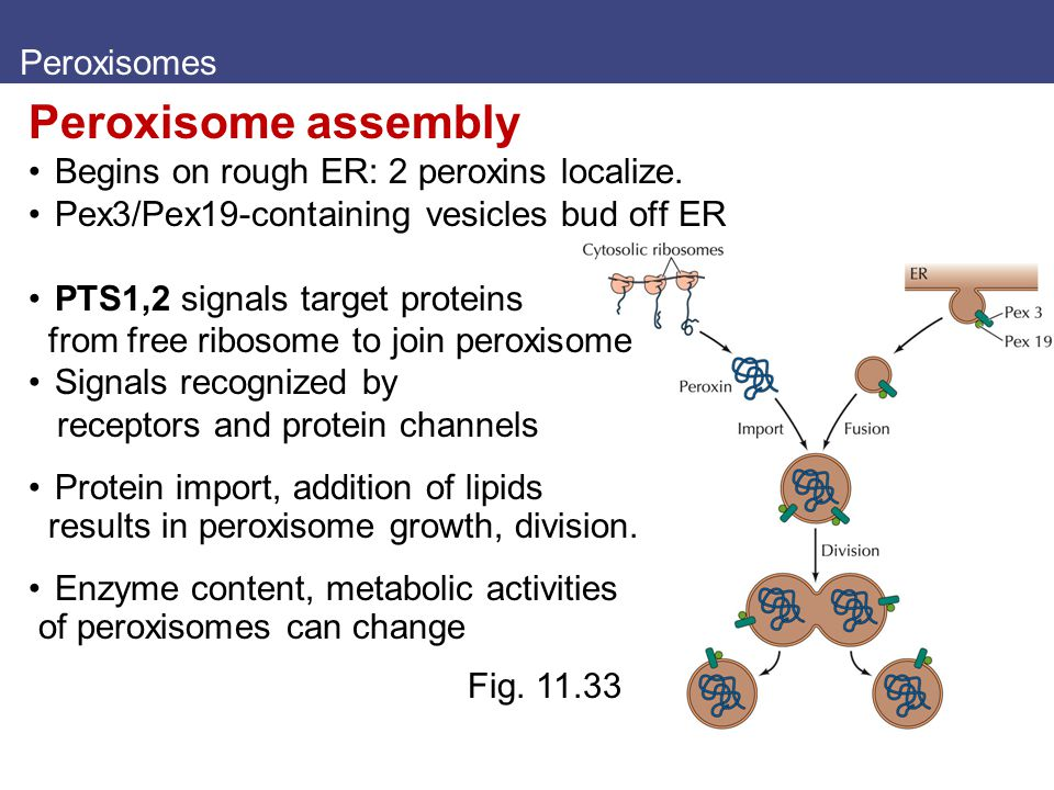 Peroxisome assembly Peroxisomes