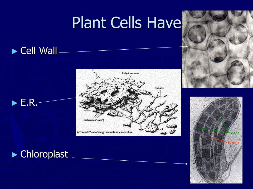 Plant Cells Have Cell Wall E.R. Chloroplast