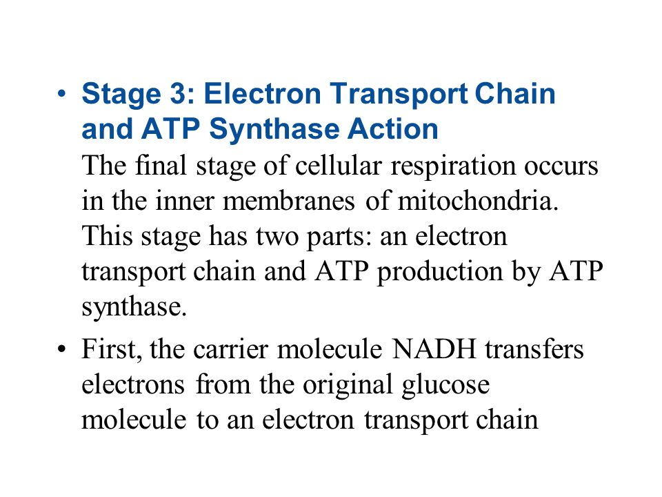 Stage 3: Electron Transport Chain and ATP Synthase Action The final stage of cellular respiration occurs in the inner membranes of mitochondria. This stage has two parts: an electron transport chain and ATP production by ATP synthase.
