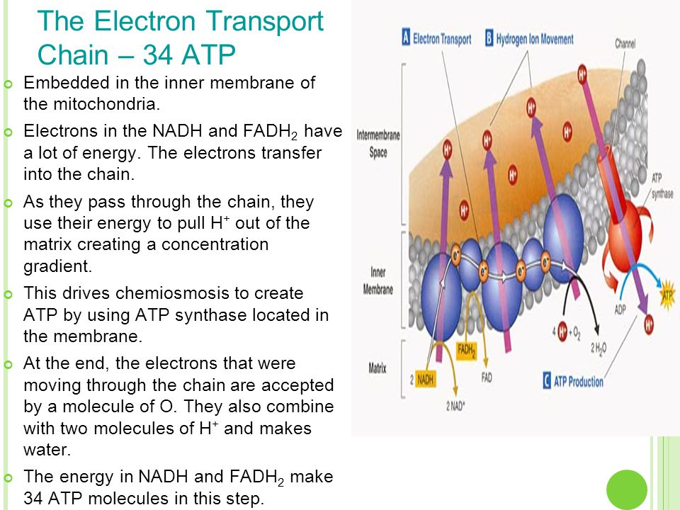 The Electron Transport Chain – 34 ATP