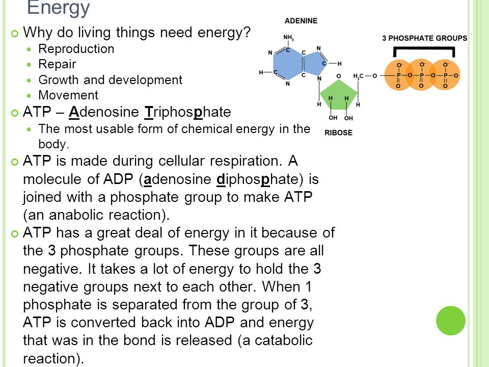 Energy Why do living things need energy ATP – Adenosine Triphosphate