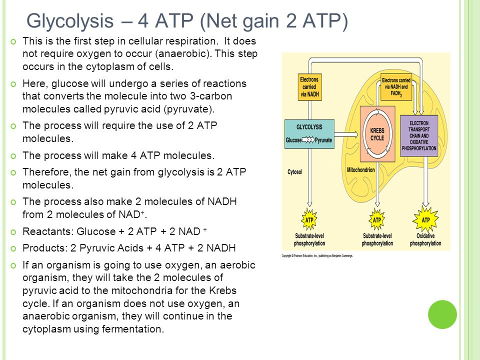 Glycolysis – 4 ATP (Net gain 2 ATP)