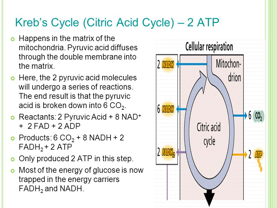 Kreb's Cycle (Citric Acid Cycle) – 2 ATP