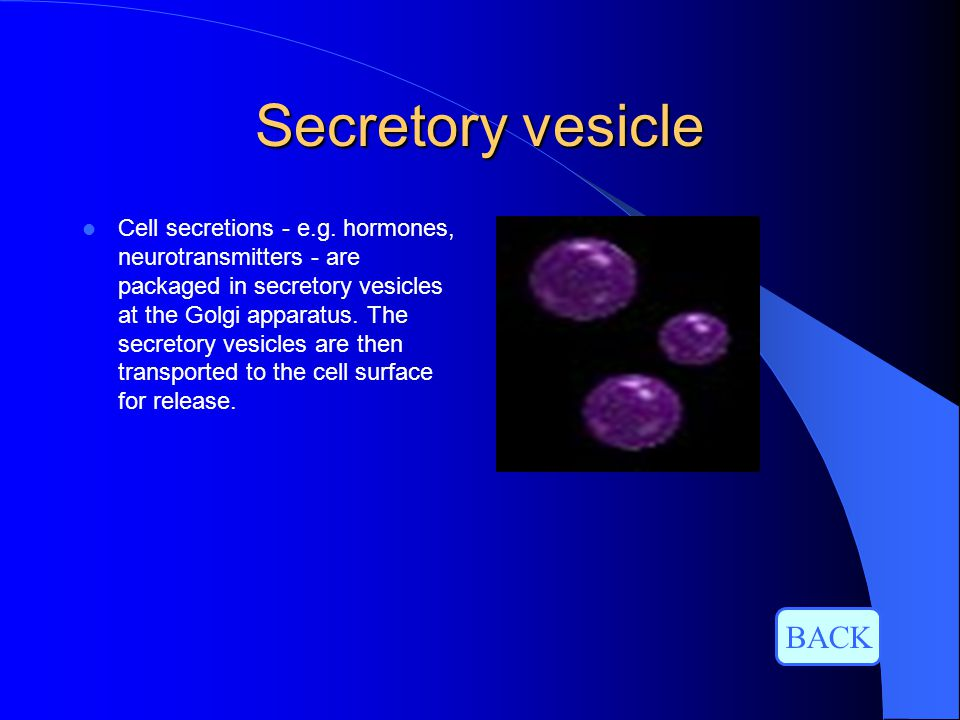 Secretory vesicle BACK