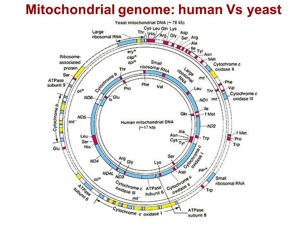 Mitochondrial genome: human Vs yeast