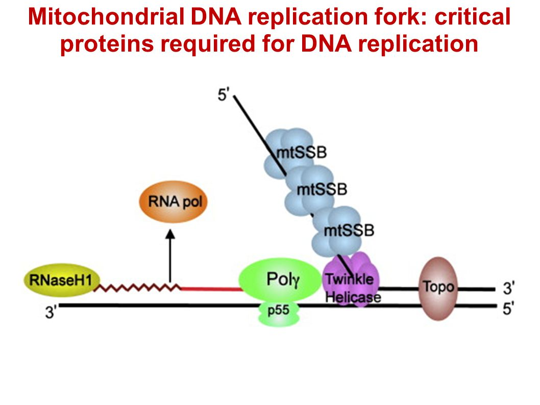 Mitochondrial DNA replication fork: critical proteins required for DNA replication