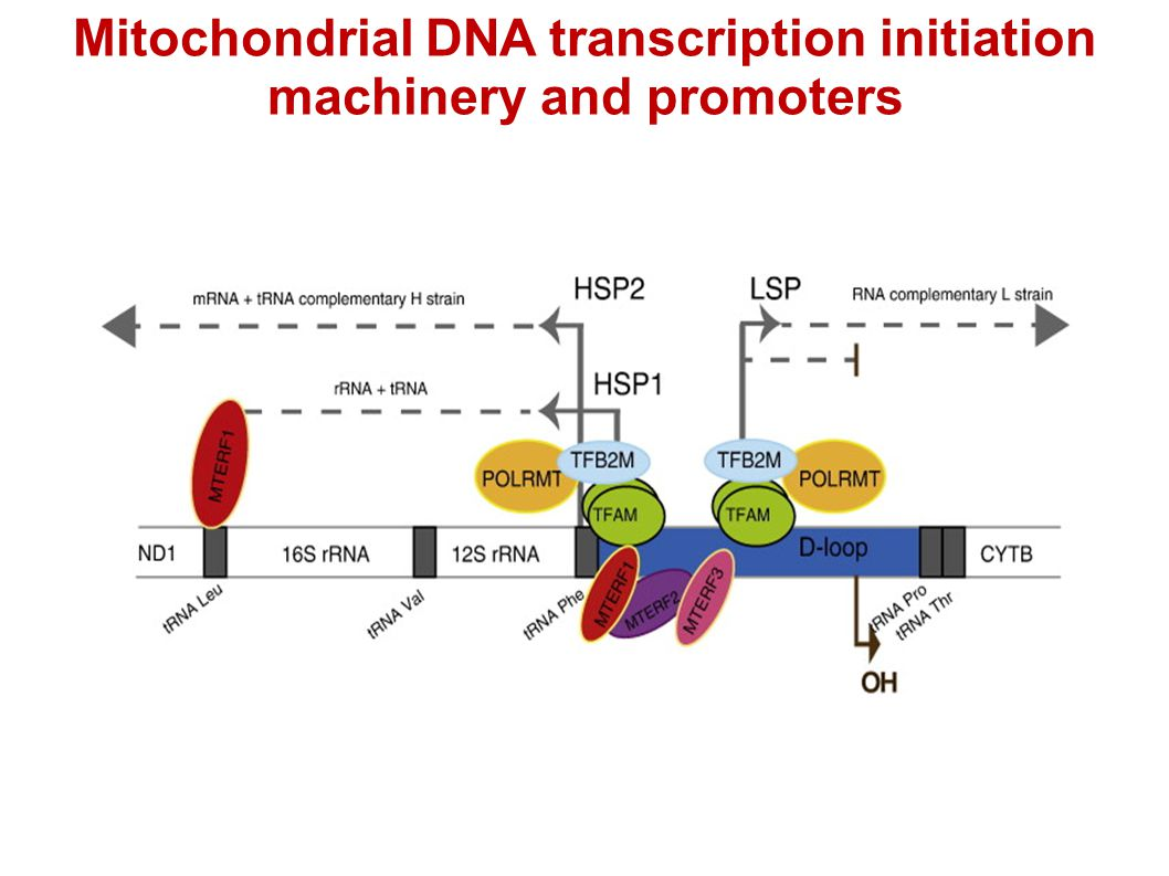 Mitochondrial DNA transcription initiation machinery and promoters