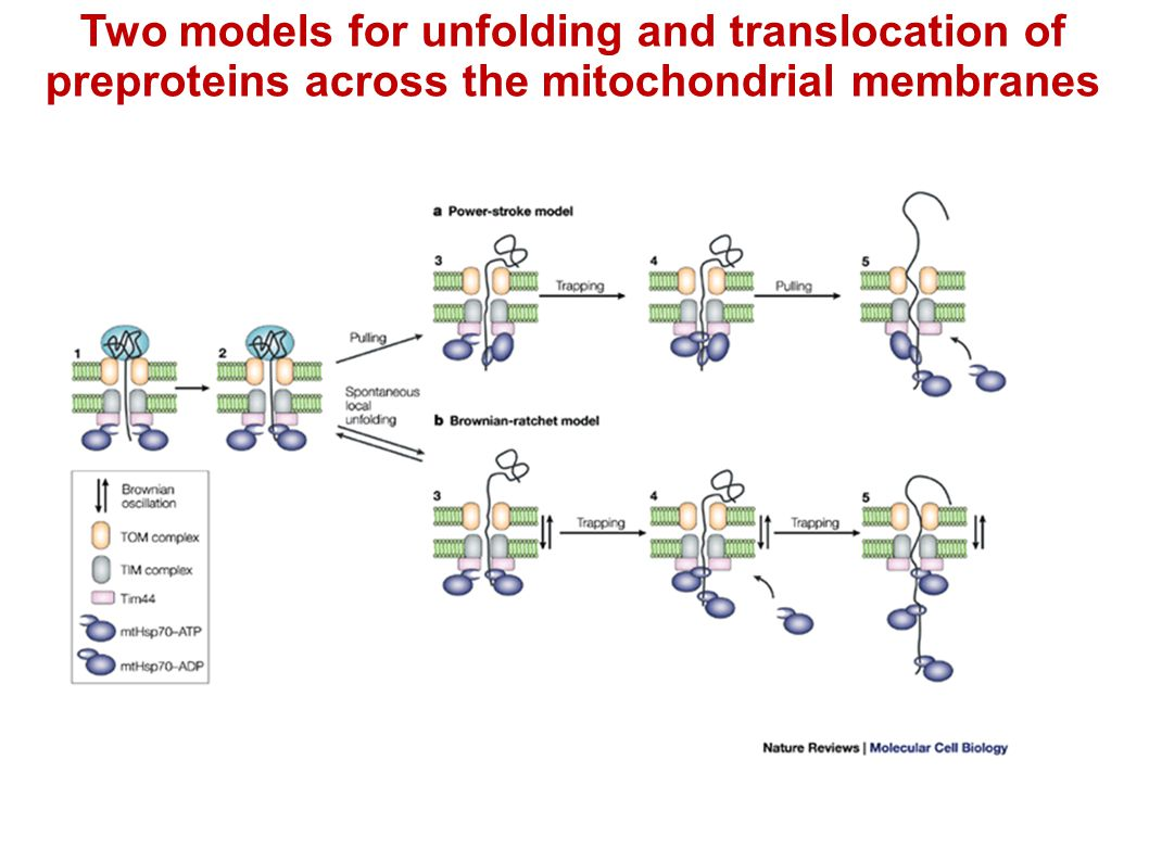 Two models for unfolding and translocation of preproteins across the mitochondrial membranes