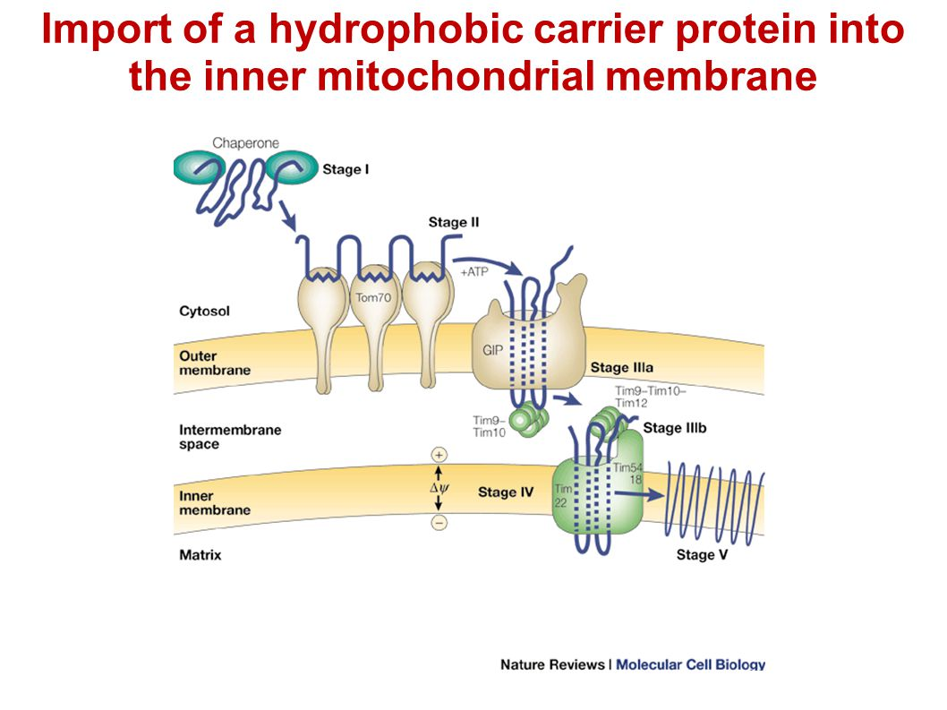 Import of a hydrophobic carrier protein into the inner mitochondrial membrane