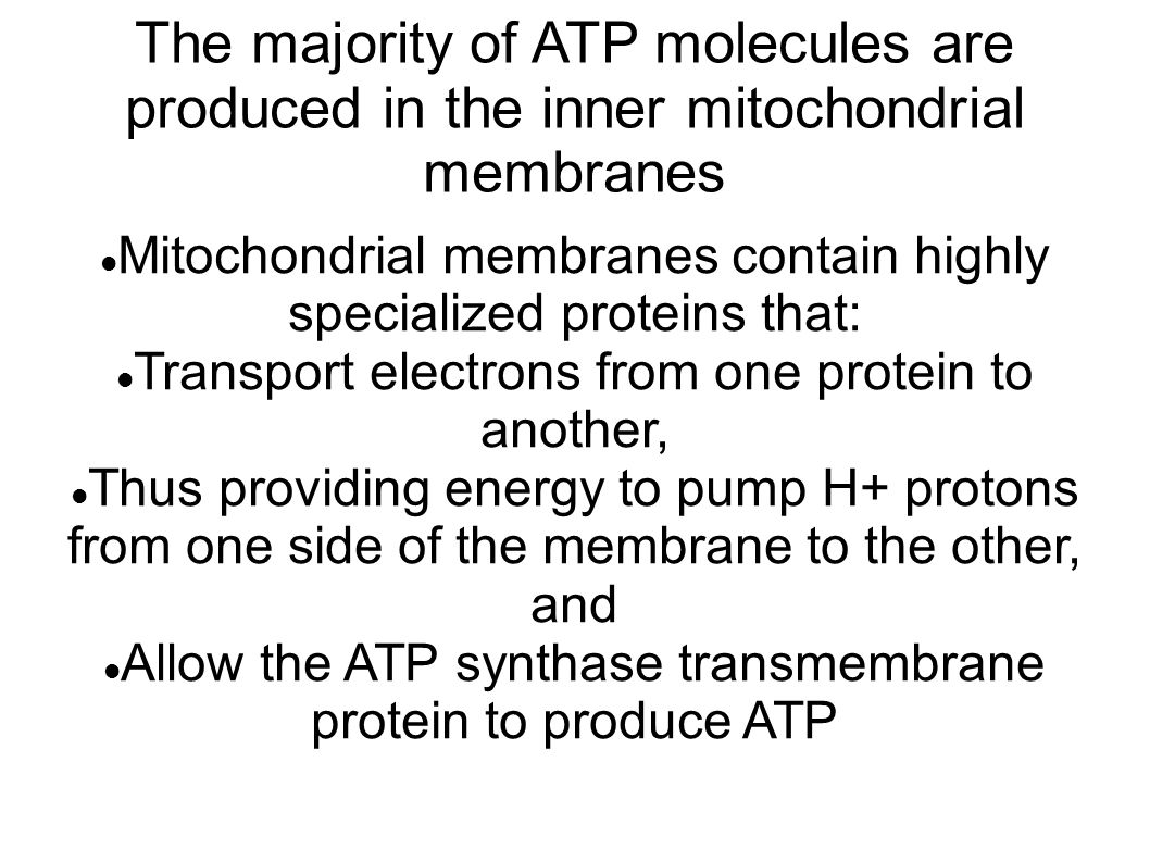 The majority of ATP molecules are produced in the inner mitochondrial membranes