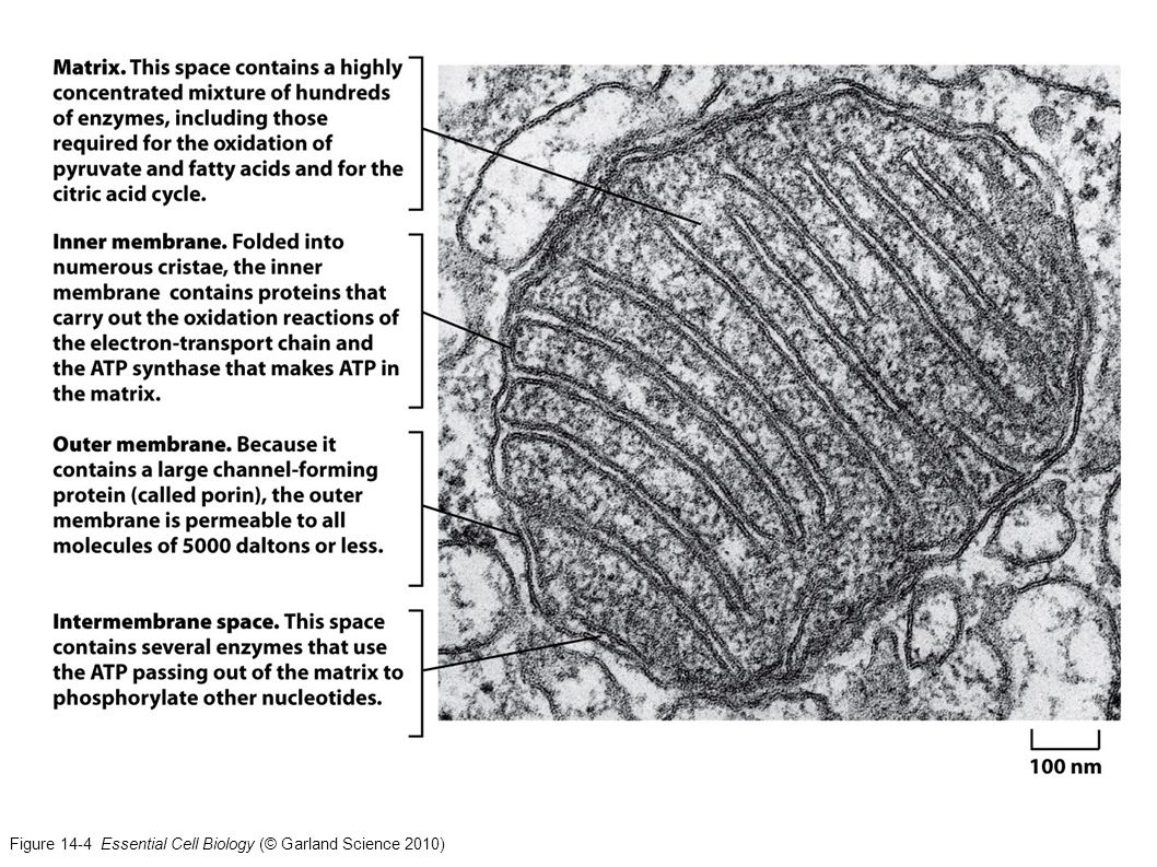 Figure 14-4 Essential Cell Biology (© Garland Science 2010)