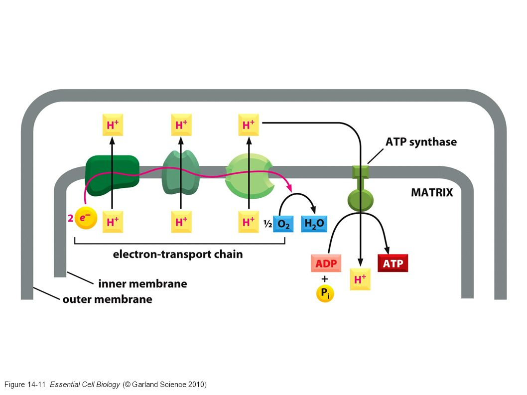 Figure 14-11 Essential Cell Biology (© Garland Science 2010)