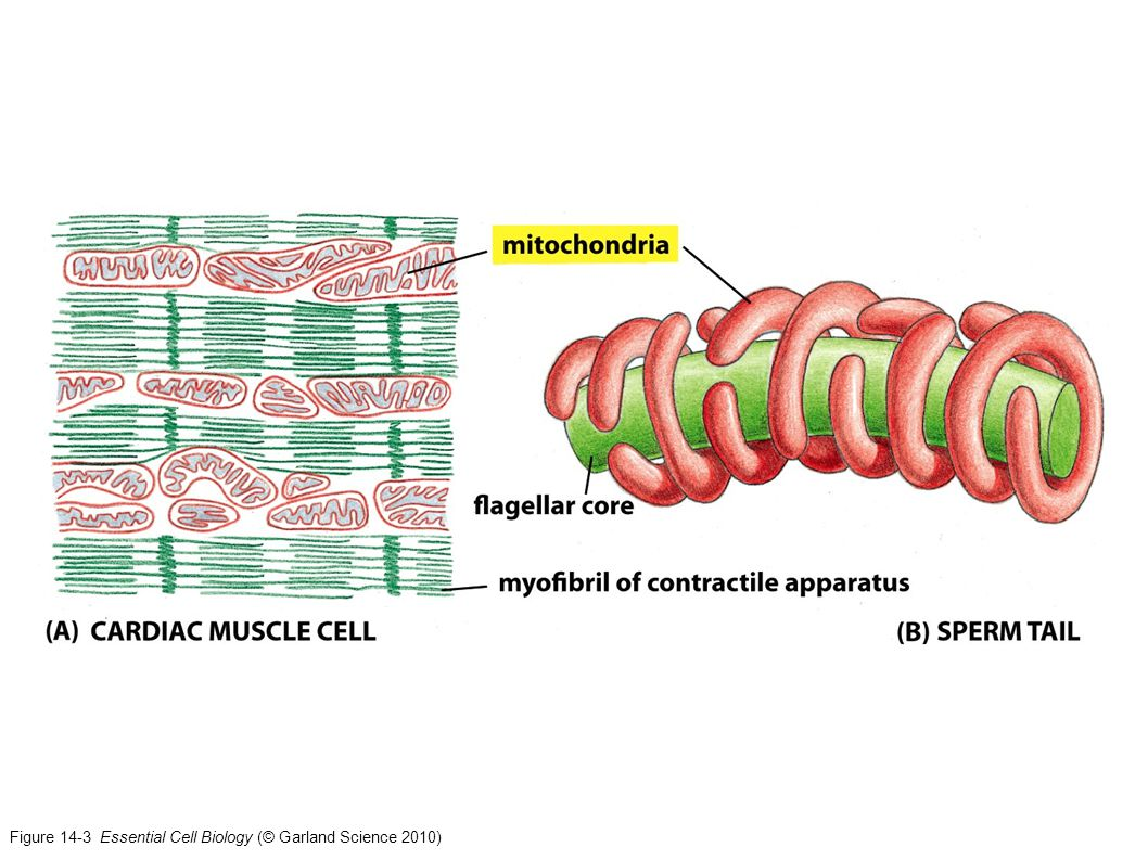Figure 14-3 Essential Cell Biology (© Garland Science 2010)