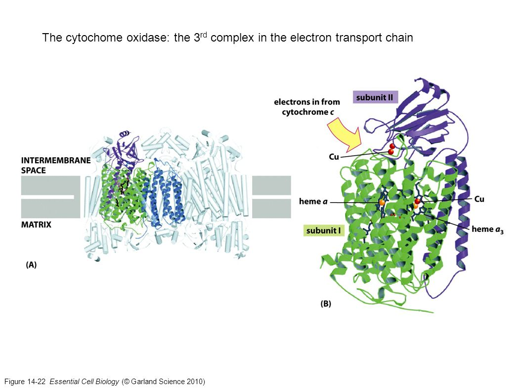 The cytochome oxidase: the 3rd complex in the electron transport chain