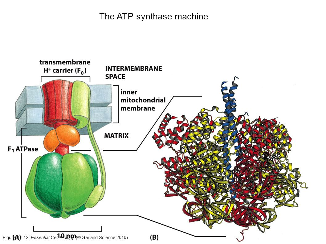 The ATP synthase machine