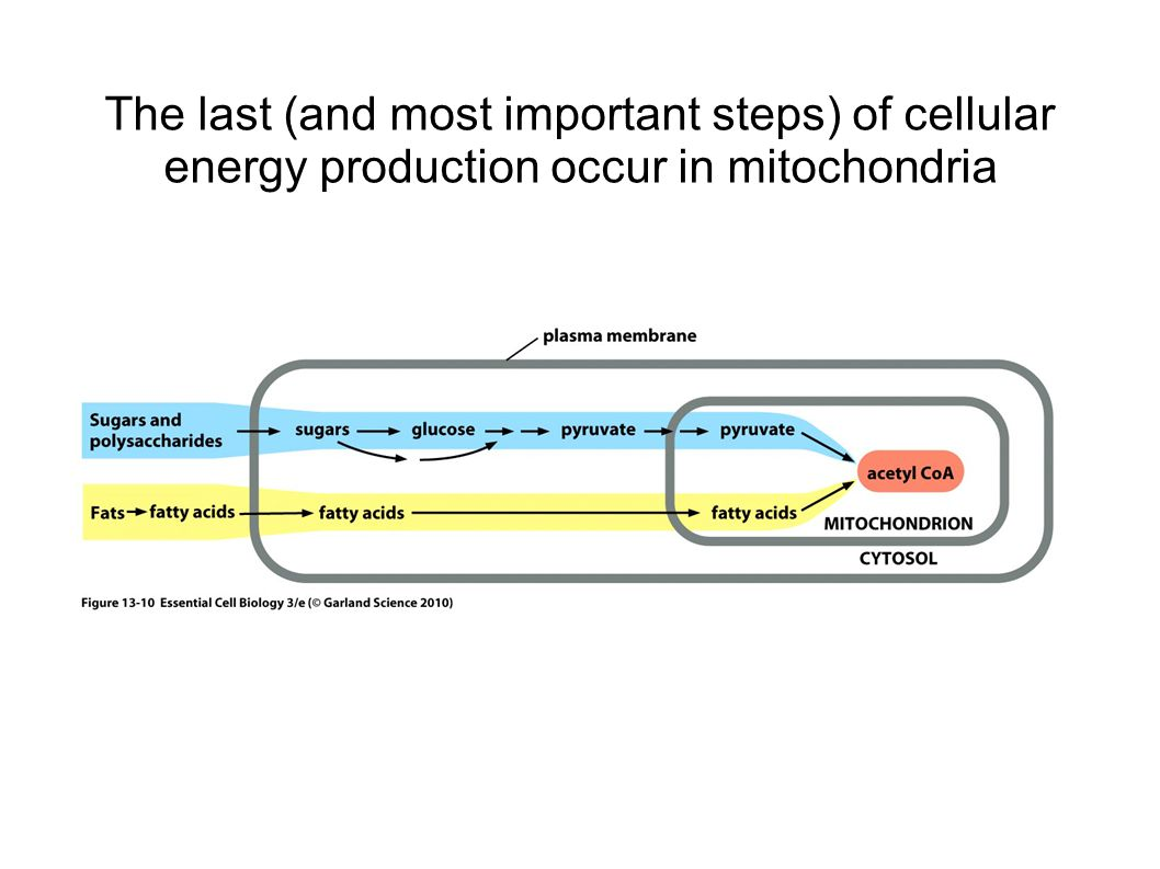 The last (and most important steps) of cellular energy production occur in mitochondria