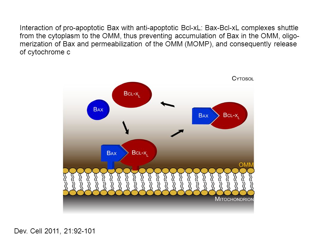 Interaction of pro-apoptotic Bax with anti-apoptotic Bcl-xL: Bax-Bcl-xL complexes shuttle