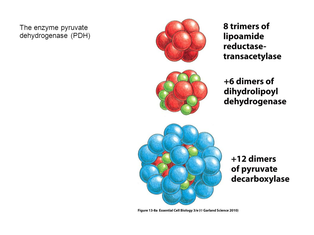 The enzyme pyruvate dehydrogenase (PDH) 76