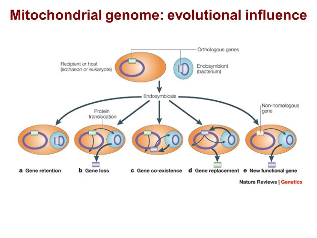 Mitochondrial genome: evolutional influence