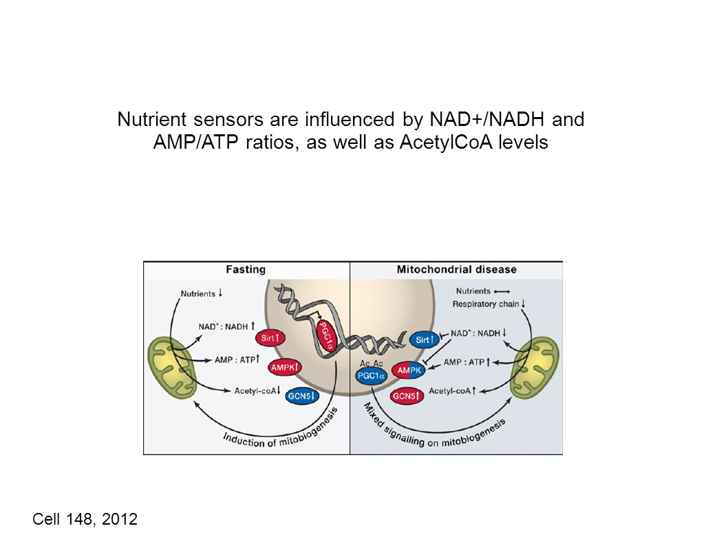 Nutrient sensors are influenced by NAD+/NADH and AMP/ATP ratios, as well as AcetylCoA levels