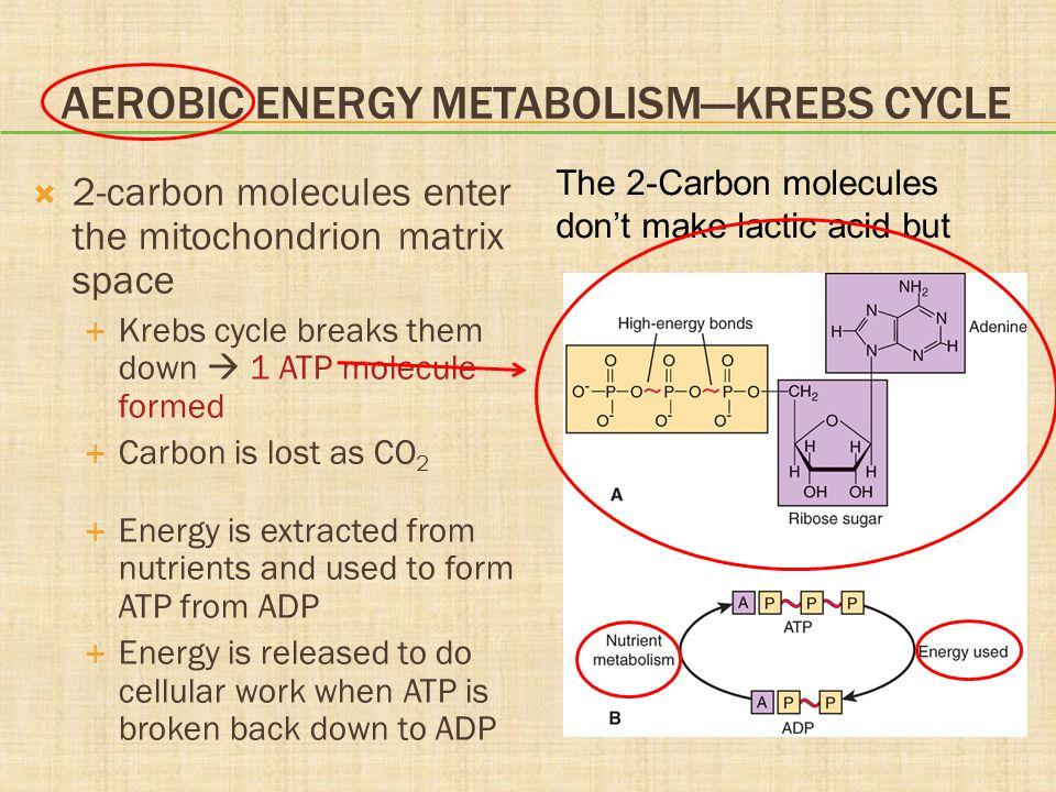 Aerobic Energy Metabolism—Krebs Cycle