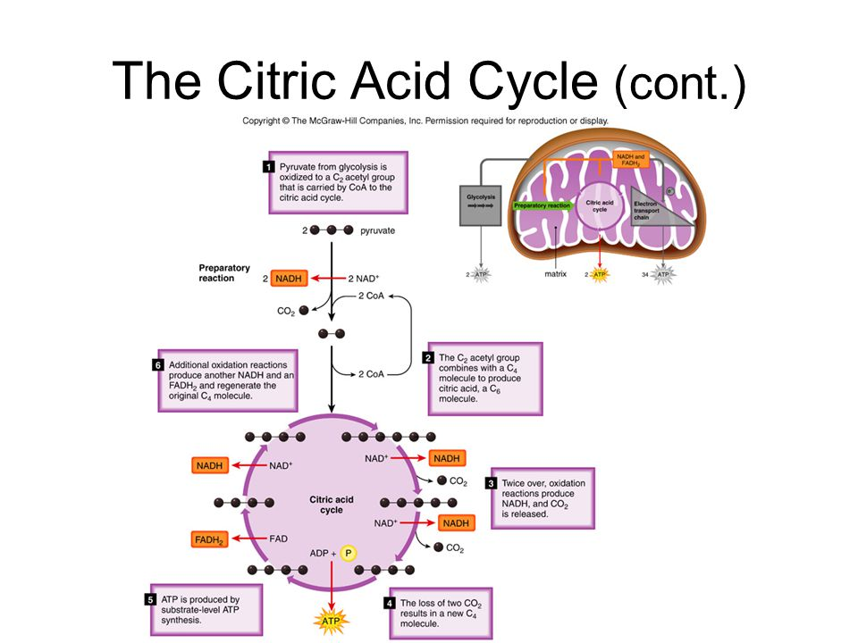 The Citric Acid Cycle (cont.)