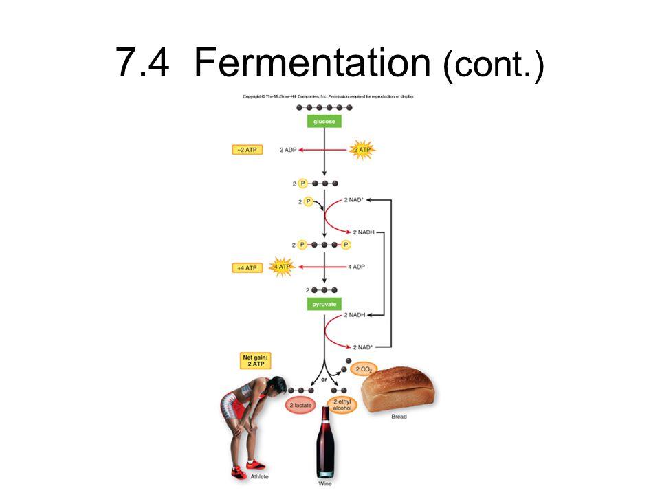 7.4 Fermentation (cont.)