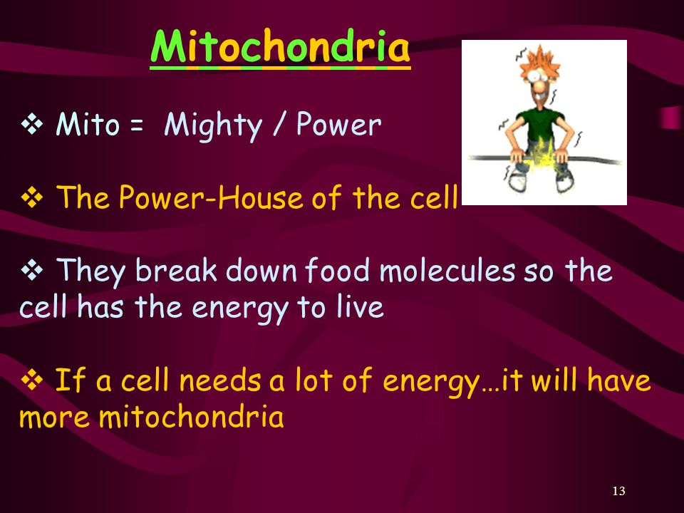 Mitochondria Mito = Mighty / Power The Power-House of the cell
