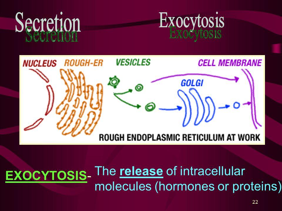 Secretion Exocytosis The release of intracellular molecules (hormones or proteins) EXOCYTOSIS-