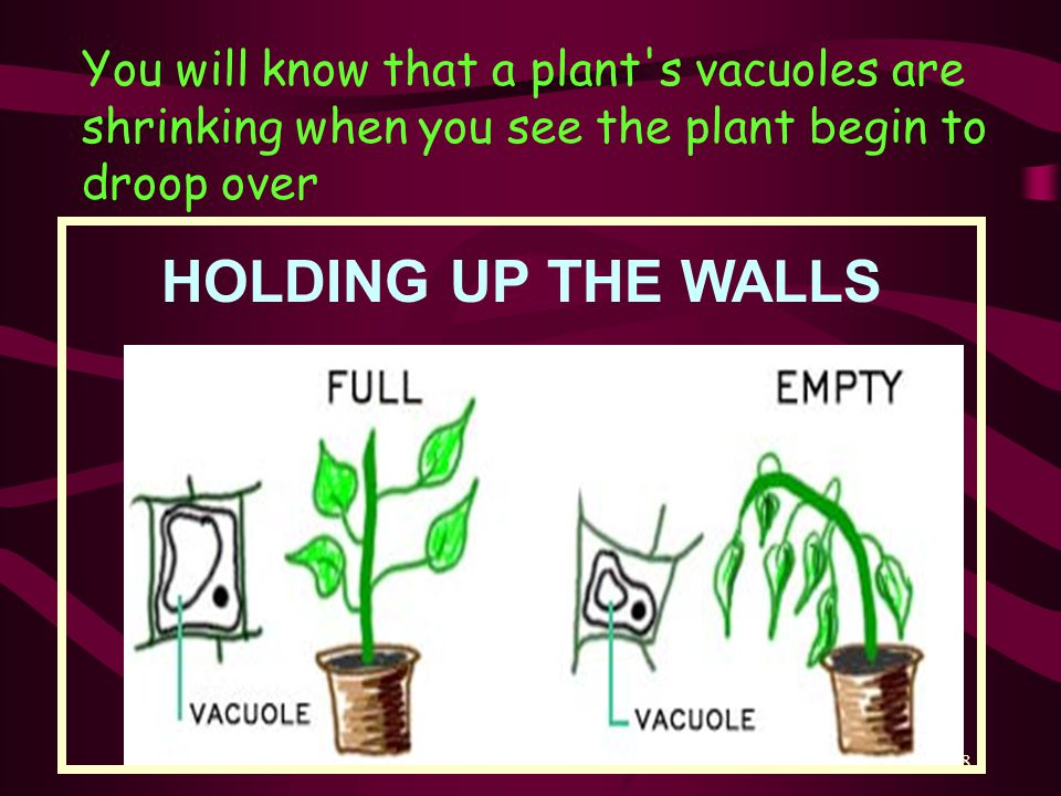 You will know that a plant s vacuoles are shrinking when you see the plant begin to droop over