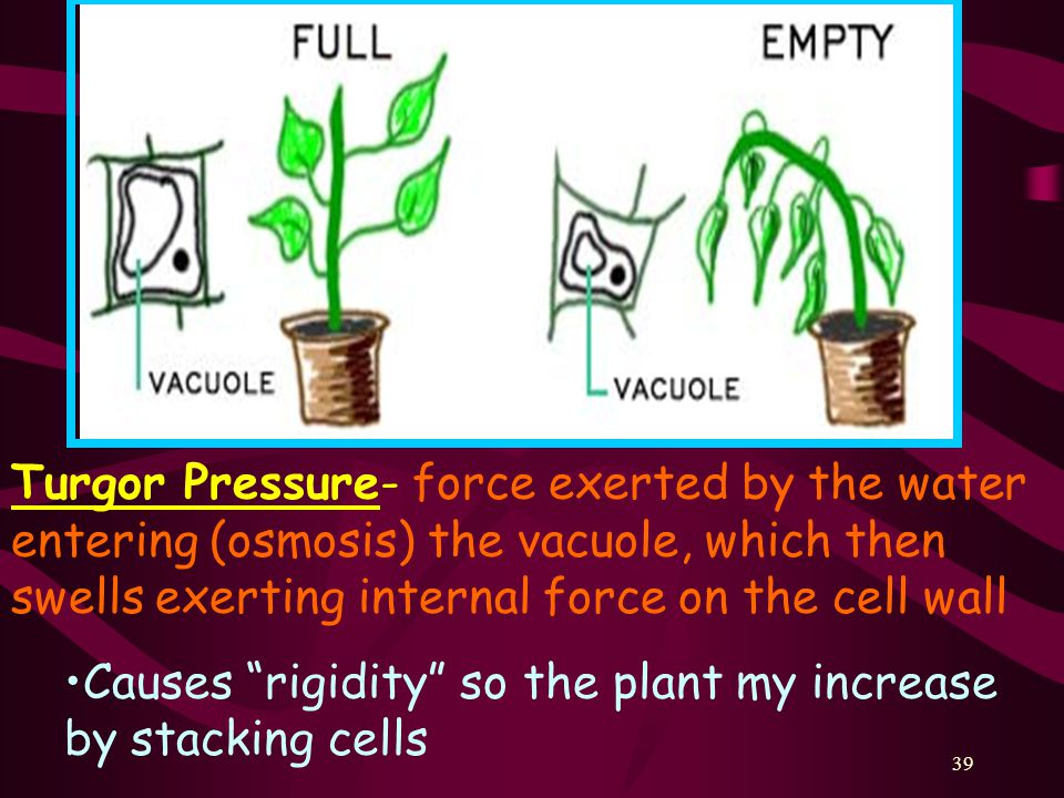 Turgor Pressure- force exerted by the water entering (osmosis) the vacuole, which then swells exerting internal force on the cell wall