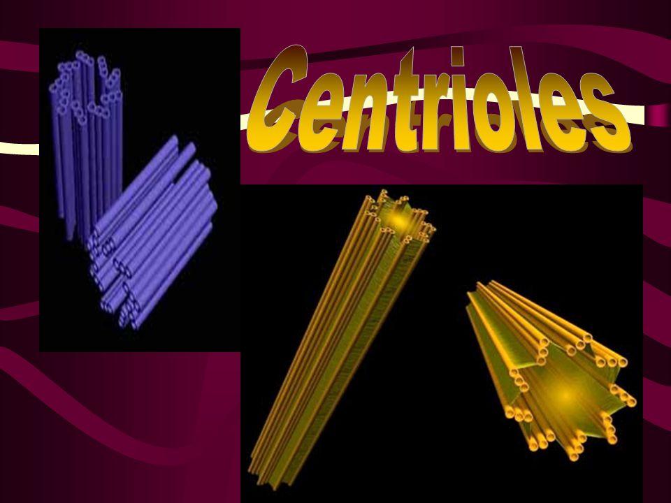 Centrioles http://www.snv.jussieu.fr/bmedia/Mitose/Centri3.jpg
