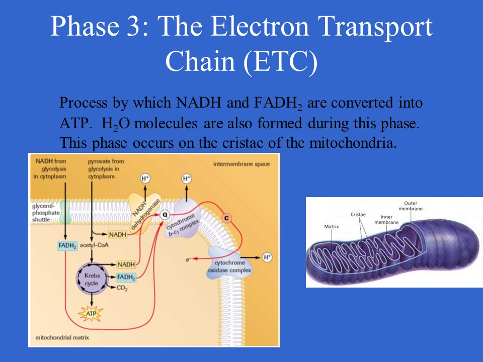 Phase 3: The Electron Transport Chain (ETC)