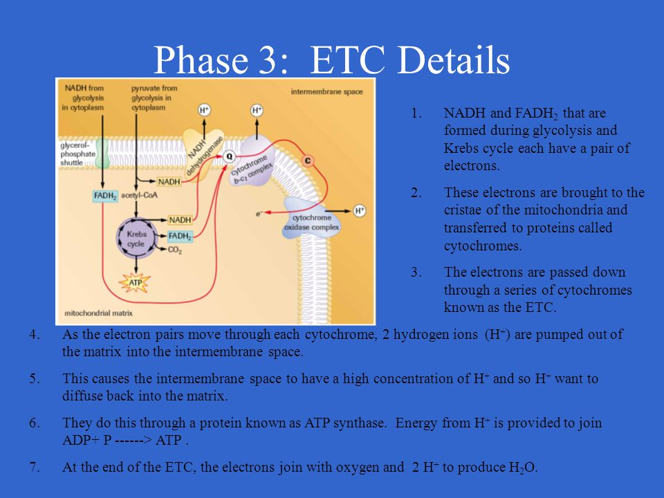 Phase 3: ETC Details NADH and FADH2 that are formed during glycolysis and Krebs cycle each have a pair of electrons.
