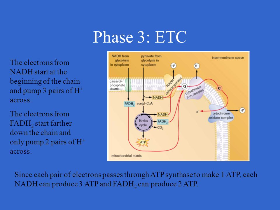 Phase 3: ETC The electrons from NADH start at the beginning of the chain and pump 3 pairs of H+ across.