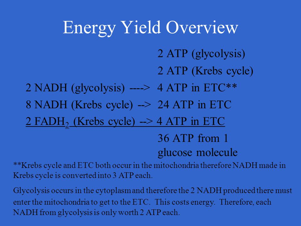 Energy Yield Overview 2 ATP (glycolysis) 2 ATP (Krebs cycle)