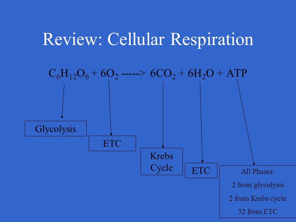 Review: Cellular Respiration