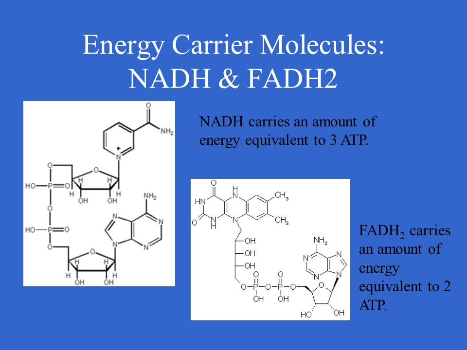 Energy Carrier Molecules: NADH & FADH2