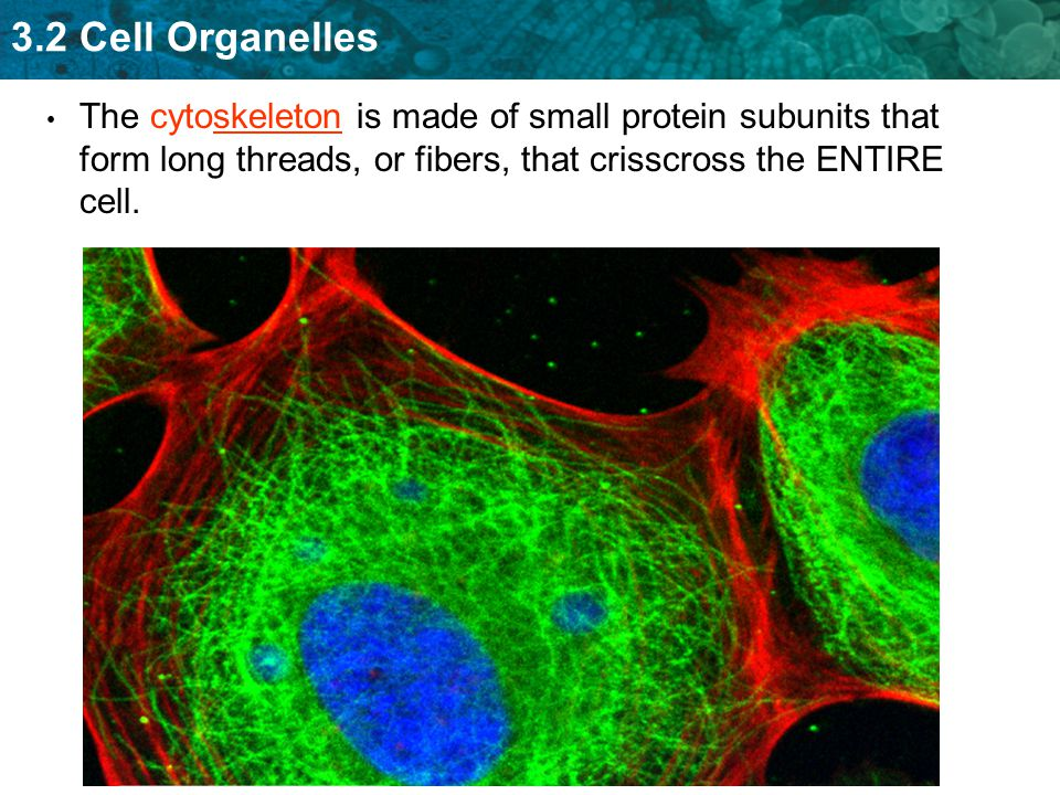 The cytoskeleton is made of small protein subunits that form long threads, or fibers, that crisscross the ENTIRE cell.