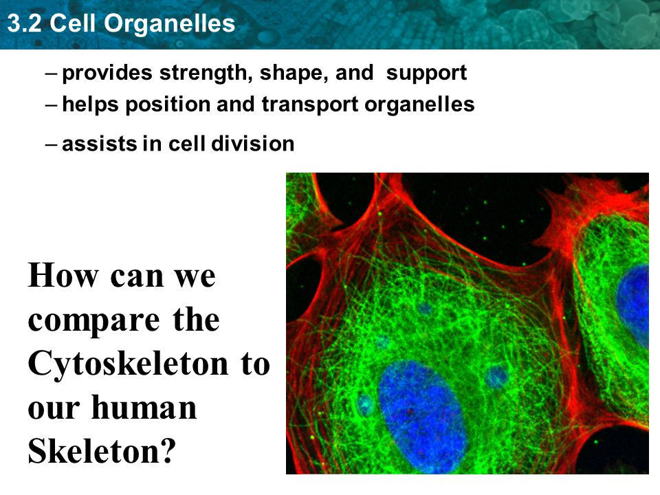How can we compare the Cytoskeleton to our human Skeleton