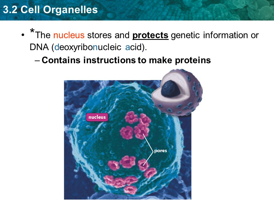 *The nucleus stores and protects genetic information or DNA (deoxyribonucleic acid).