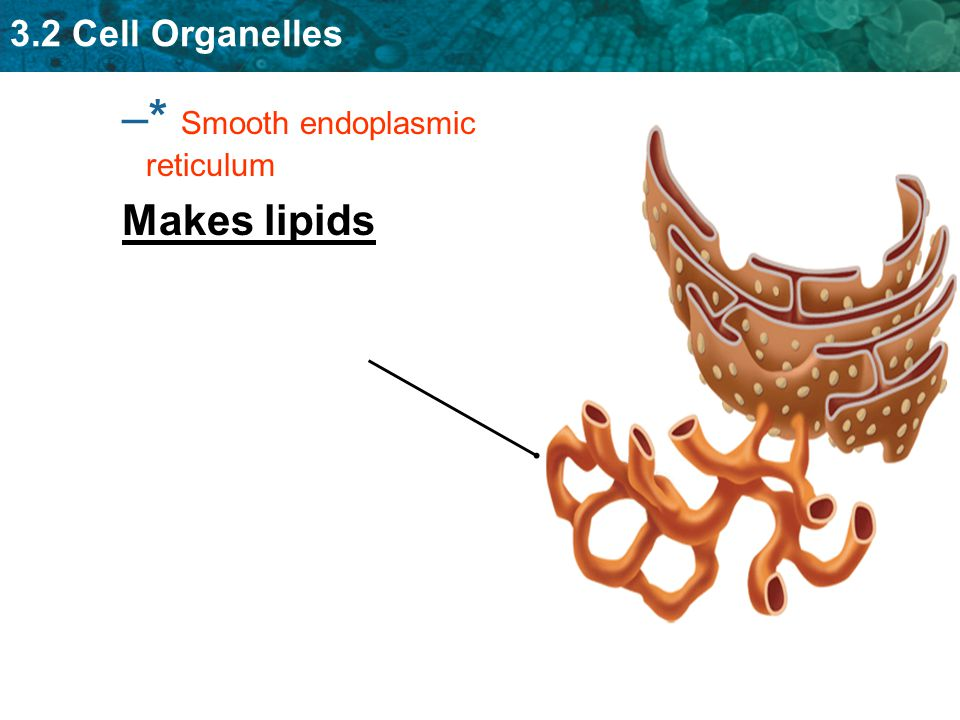 * Smooth endoplasmic reticulum