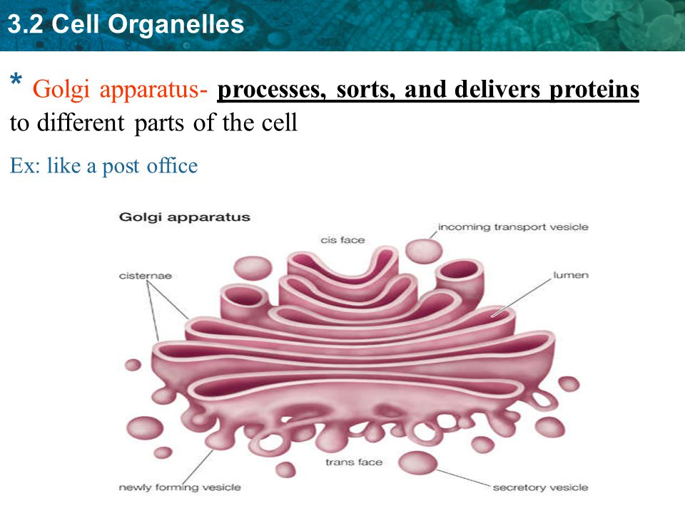 * Golgi apparatus- processes, sorts, and delivers proteins to different parts of the cell