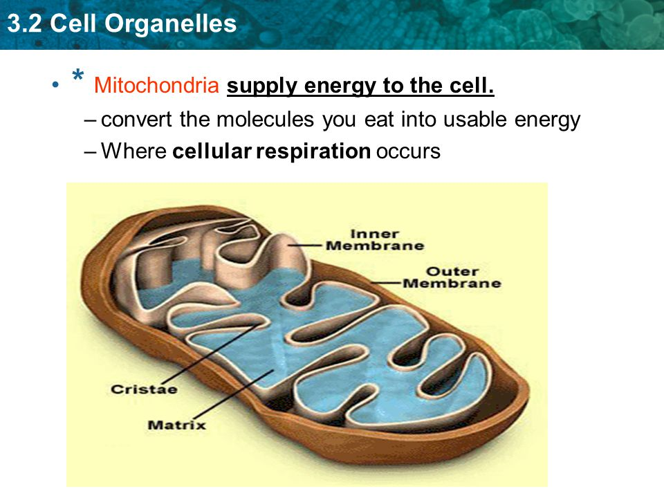 * Mitochondria supply energy to the cell.