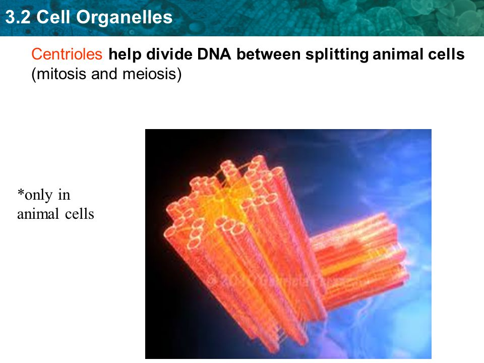 Centrioles help divide DNA between splitting animal cells (mitosis and meiosis)